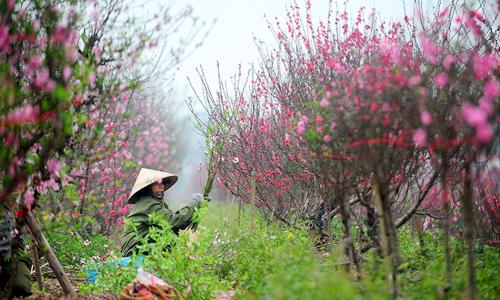 Người trồng đào hối hả chăm sóc cây chờ ngày Tết 2016 đang đến. Ảnh: Giang Huy.