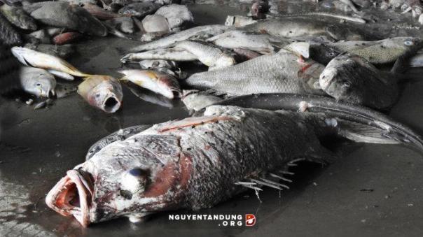 Hàng tấn cá chết không rõ nguyên nhân trôi dạt vào vùng biển miền Trung
