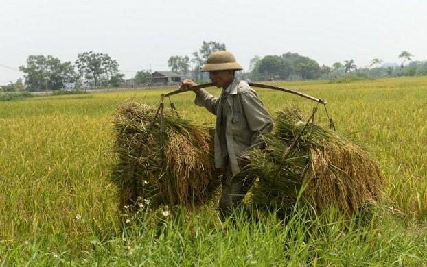 Một nông dân mang lúa đã thu hoạch trên một cánh đồng ở ngoại ô Hà Nội vào ngày 9 Tháng 6 năm 2016.