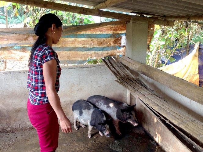 Heo giống được cấp năm 2016 cho người nghèo ở Tủa Chùa, Điện Biên - Ảnh: tư liệu