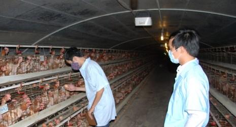 Các trang trại nuôi gà đẻ trứng cũng đang lao đao vì giá thấp, người nuôi thua lỗ. Ảnh: QH