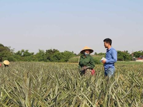 Thương lái Trung Quốc đã đến nhiều vùng thu mua dứa với giá cao bất thường. Trong ảnh: Nông dân đang hái dứa bán cho Trung Quốc. Ảnh: ĐẶNG TRUNG