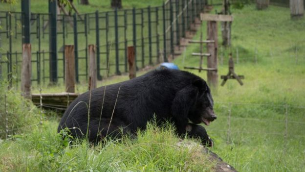 Giới chức Việt Nam muốn chấm dứt tình trạng buôn bán mật gấu và nuôi gấu lấy mật trong vòng năm năm tới
